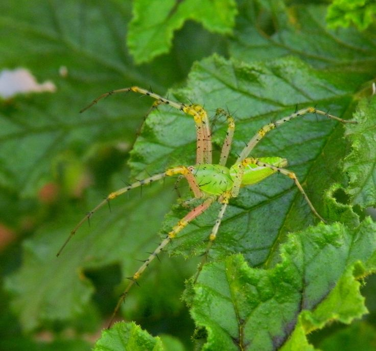 The Lynx Spider