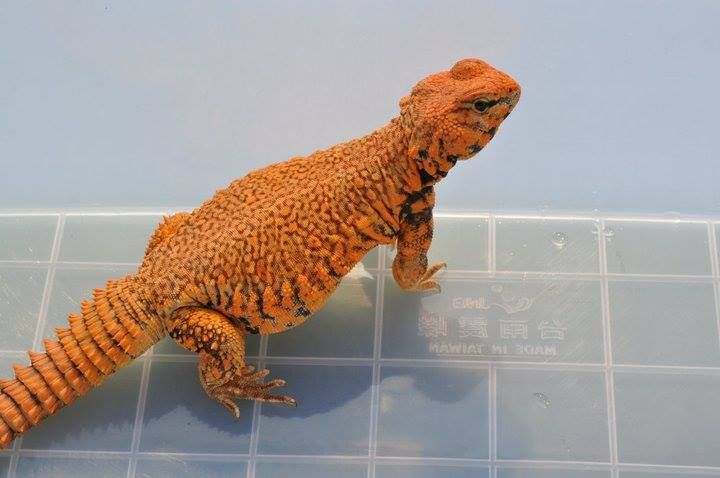 31 best Uromastyx Species images on Pinterest | Lizards ...