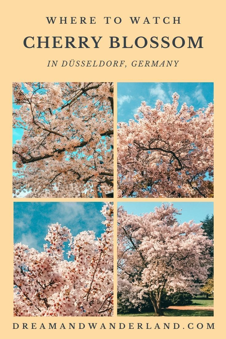 Sakura In Dusseldorf Or Where To Find The Best Spots To See Cherry Blossom Dream And Wanderland In 2021 Travel Inspiration Cool Places To Visit Amazing Destinations