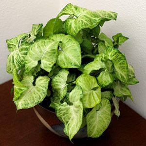 Vines plants and house plants on pinterest - Green leafy indoor plants ...