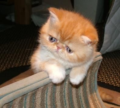 Exotic Shorthair Cats and Kittens for sale at ZIAKATZ http://www.asstecacres.com/ExoticCats.html