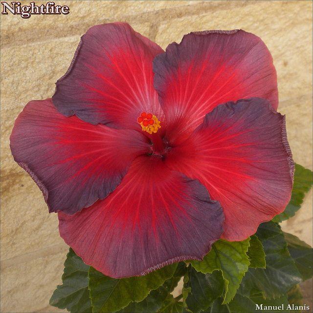 Hibiscus Nightfire No Words By Mym Hibiscus Via Flickr Hibiscus Plant Beautiful Flowers Hibiscus Flowers