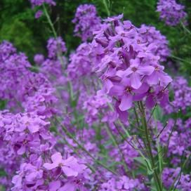 DAME'S ROCKET (HESPERIS) SEEDS - On Sale Now...by the Packet or in Bulk!