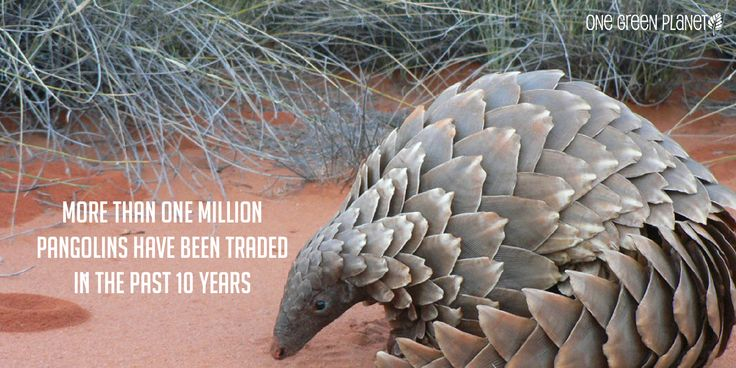 10 Shocking Facts About How the Illegal Wildlife Trade Drives Species Extinction #rhino #elephant #pangolin