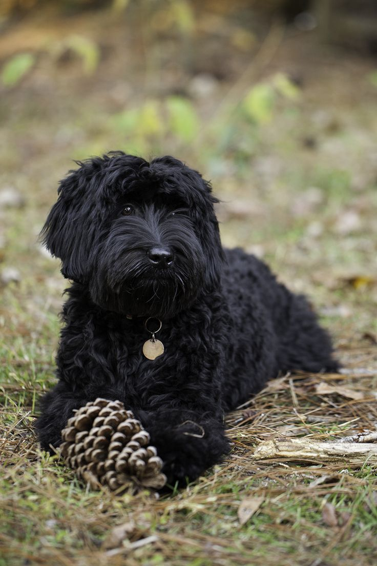 Labradoodle Pictures of Our Wonderful Dogs and Puppies