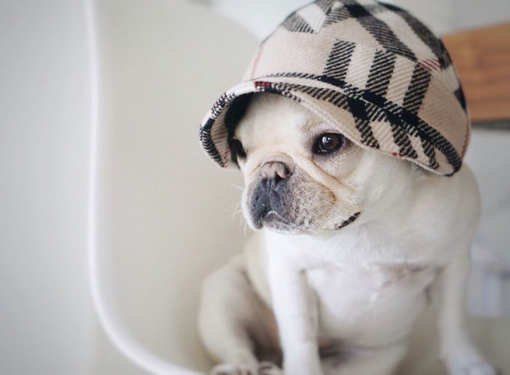 'My New Burberry Hat', chic French Bulldog, via Piggy and Polly.