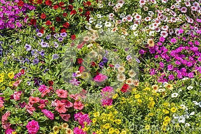 Petunia spring flowers