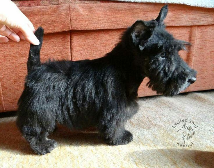scottish terrier don t 1087 best images about scottish terriers on pinterest 7198