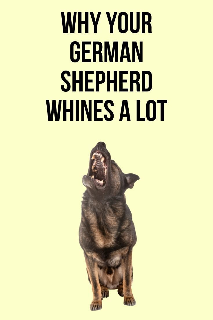How To Get A German Shepherd To Stop Whining