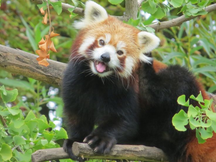 Red pandas are the only living member of the family Ailuridae, and their taxonomic position has been a subject of much debate. They were first described as belonging to the raccoon family in 1825, and this classification has been controversial ever since. However, most recent DNA research places red pandas into their own family: Ailuridae.