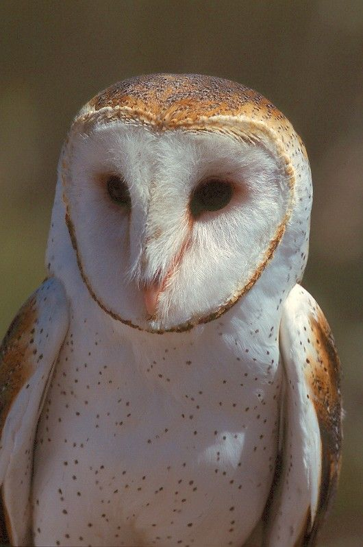 Barn Owl (Tyto alba) close-up. Photo by Jared Hobbs.
