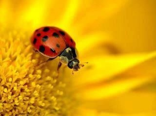 : Photos, Macros, Macro Photography, Mariquitas Ladybugs, Ladybugs Lots, Ladybugs Lieveheersbeestjes, Lady Bugs, Lovely Ladybugs, Yellow Flower