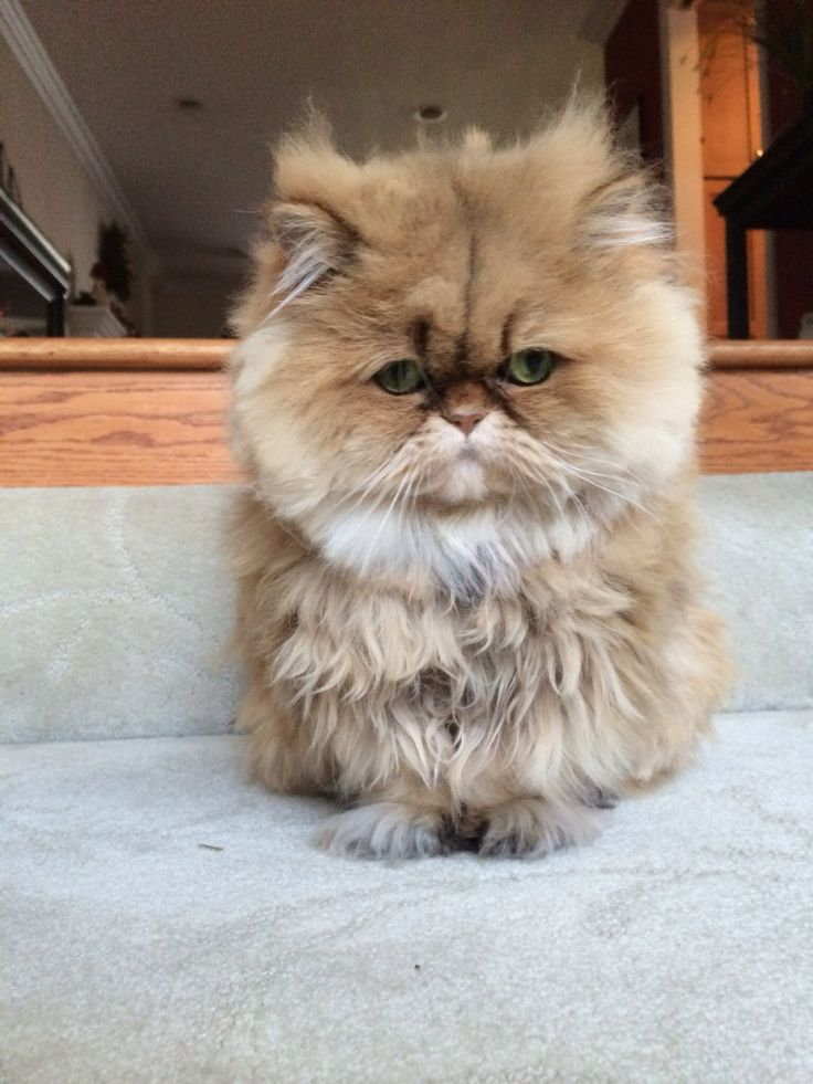 Squishy Cat With Butter : Butters the Persian It s a Dog & Cat kind of Life Pinterest More Persian, Dog cat and Cat ...