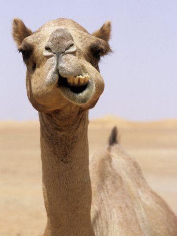 Cheeky Dubai Camel in Desert, Dubai, United Arab Emirates    by Holger Leuer
