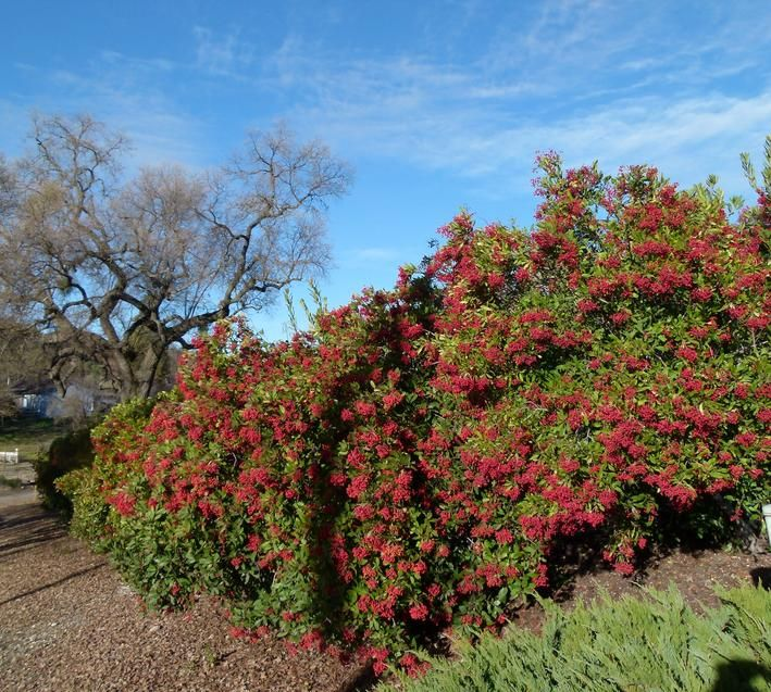 A 100ft hedge of Toyon, Heteromeles arbutifolia, as a privacy screen between a house and the street.