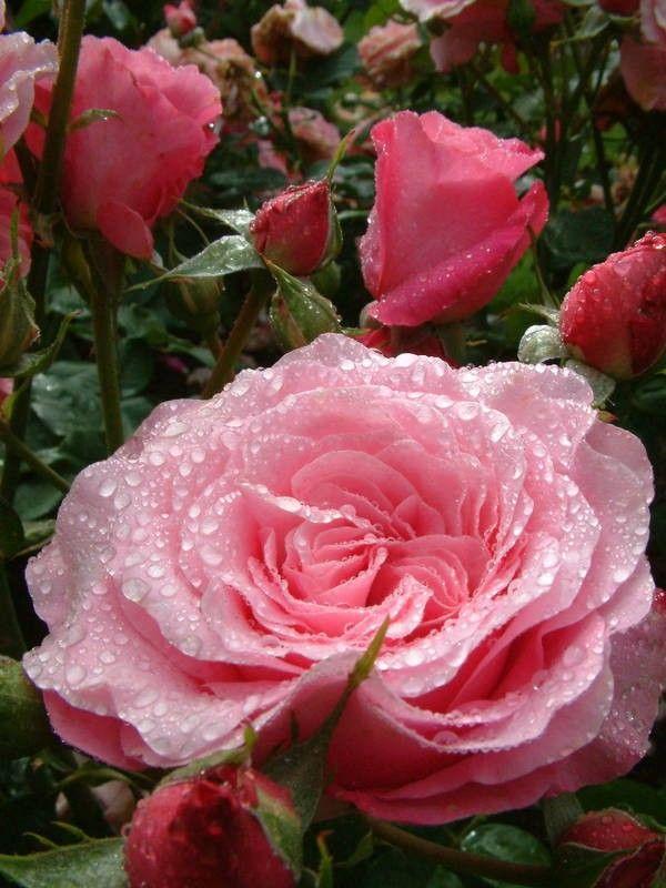 My Girl - Hybrid Teas - Old Garden Roses - Rose Catalog - Tasman Bay Roses - Buy Roses Online in New Zealand