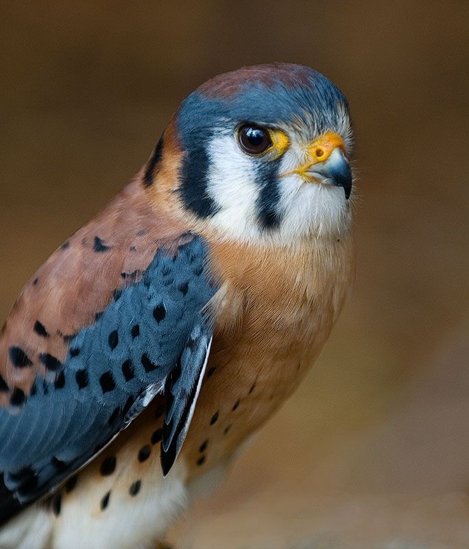 One of my favorite birds, isn't he gorgeous?  The smallest of the birds of prey, the American Kestrel