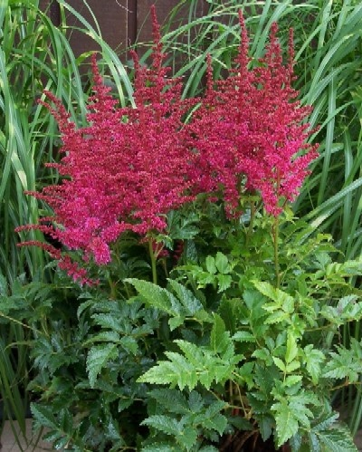 90 best images about Astilbe on Pinterest | Gardens ...