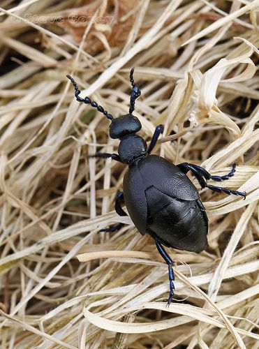 Black Oil Beetle (Meloe proscarabaeus) ♂  <3