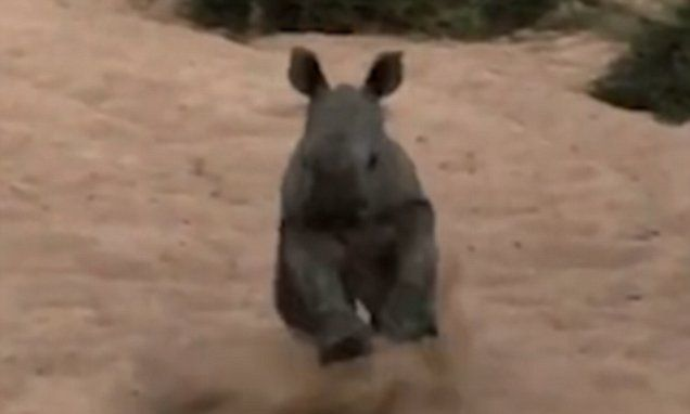 Baby rhino tries to charge at tourists in South Africa | Daily Mail Online