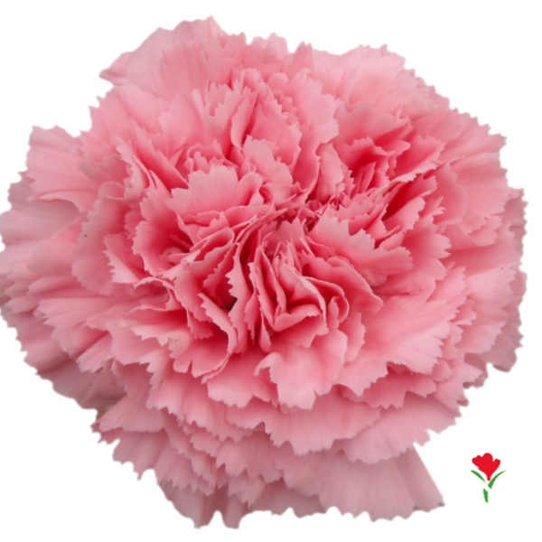 Pink Carnation from Flores Funza. Variety: Betsy. Availability: Year-round.