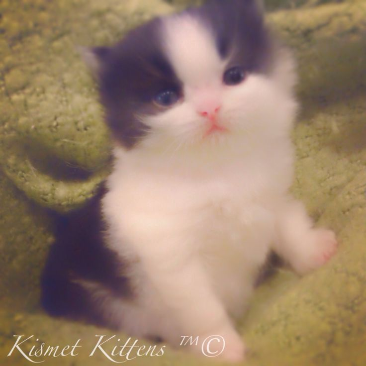 158 best Teacup Persian Kittens For Sale images on Pinterest ...