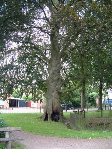 Cultureel Brabant CuBra Bomen Reusel, beuk in Deken van der Wee park