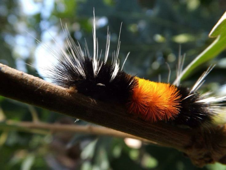 These fuzzy orange and black caterpillars are very common