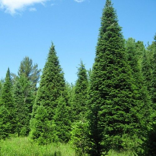 Native tree ::: use for screening between homes ::: Balsam Fir Tree Seeds (Abies balsamea) 25+Seeds