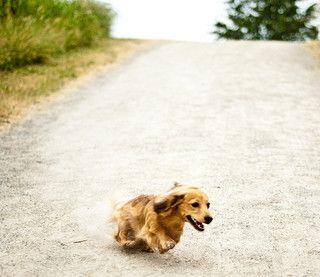Dachshund Breed Information   Doggie Matchmaker