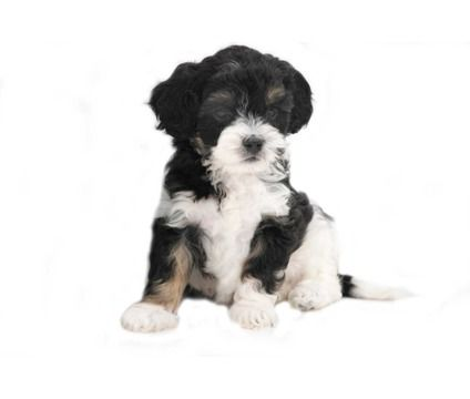 Cavapoo Puppies For Sale and Cavapoo Breeders