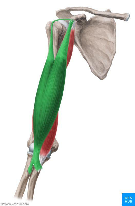 Biceps brachii muscle (Musculus biceps brachii)