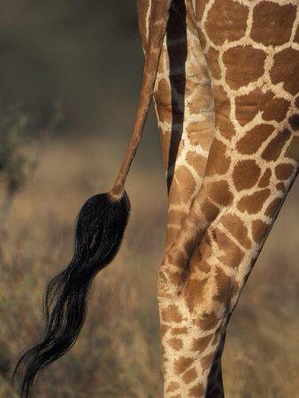 Giraffe tail | Giraffe | Pinterest | Giraffe tail and Giraffes