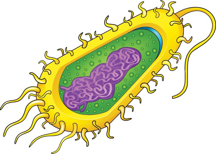 There are two main types of cells: prokaryotic and eukaryotic. Prokaryotic cells, like the bacterium pictured here, are simple cells. They d...