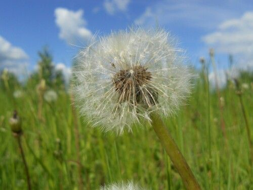 dandelion summer sky clouds
