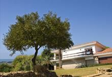 Olive Tree grown outdoors