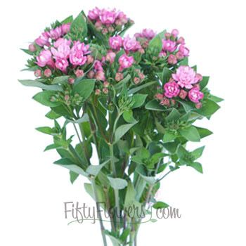 FiftyFlowers.com - Hot Pink Bouvardia Flower - 60 stems for $139.99
