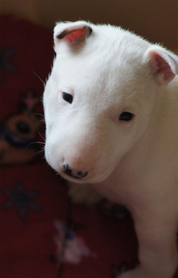 411 Best Images About Puppy English Bull Terriers On