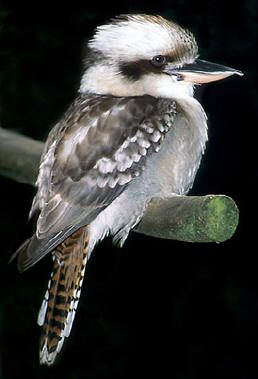 Laughing Kookaburra (Dacelo novaeguineae) is a carnivorous bird in the kingfisher family Halcyonidae. Native to eastern Australia, it has also been introduced to parts of New Zealand, Tasmania and Western Australia.