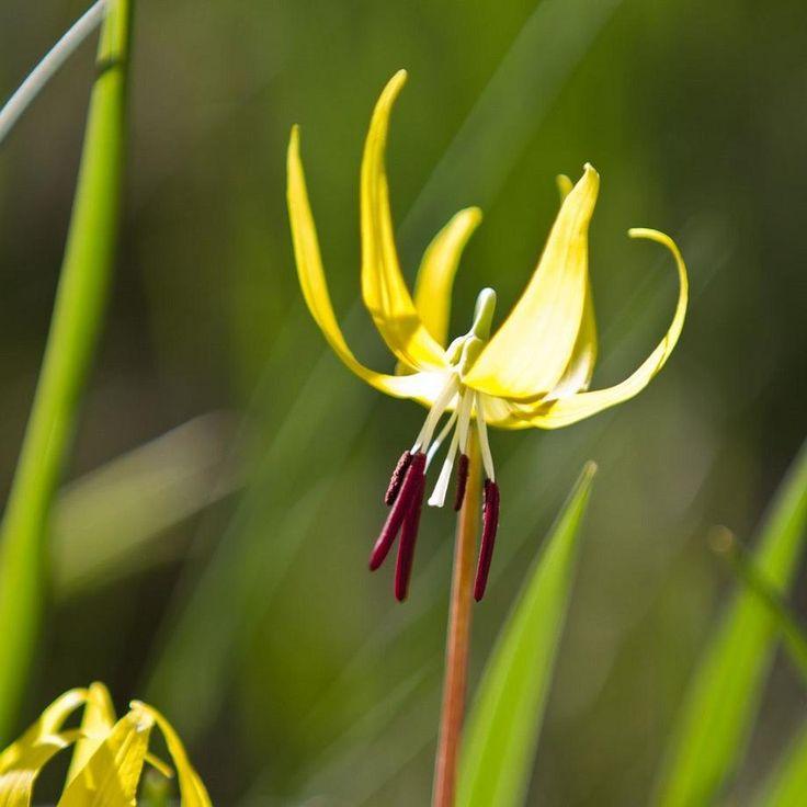 *Erythronium americanum ~ Gele Hondstand