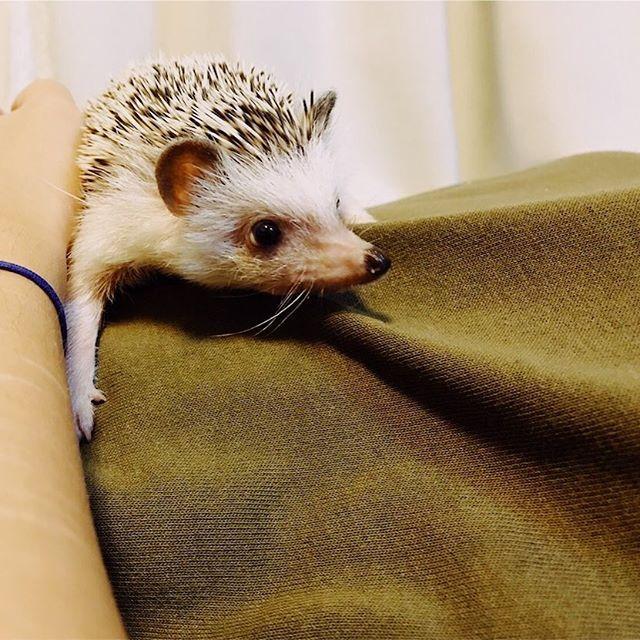 On human mountain #hedgehog #animal #pet #petstagram #vscocam #vscopet,hedgehog,petstagram,vscocam,vsco,animal