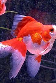"""Résultat de recherche d'images pour """"poisson aquarium eau froide"""""""