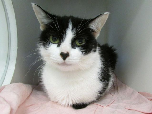 THELMA - A1120918 - - Manhattan  ***TO BE DESTROYED 08/18/17*** THELMA AND LOUISE ARE AVERAGE RATED SWEETIES WHO NEED YOUR HELP TONIGHT!!    A Volunteer writes: This pretty princess has beautiful white fur. She is decorated with black goggles, a cute little black nose and big green eyes you could get lost in. Thelma came right over to me. She was very talkative and as I opened the cage door, she gave me several head butts. She purred when I scratched her head. A couple of t