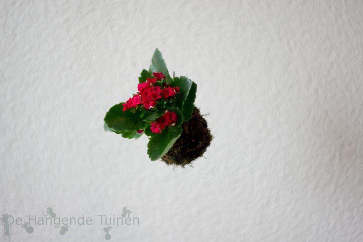 Kokedama Kalanchoë red | Kerst | dehangendetuinen