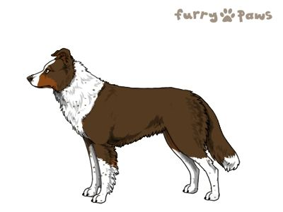 Furry Paws // WCH Kip's Muste [lala agistm stmint 24HH ] Choc. W(I) w.Red Points and Ticking 10's Kennel