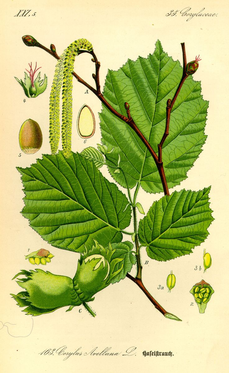 Hazel. Long catkins in spring. with leaves that tend to look a bit limp. Nuts in Autumn wear little, frilly green hoods.