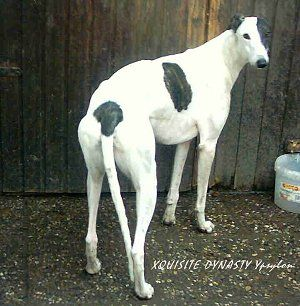 Greyhound Dog Breed Information and Pictures, Greyhounds