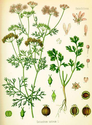 Cilantro o Coriandro para cuidar estómago, hígado y riñones, depurar y mejorar las defensas ecoagricultor.com