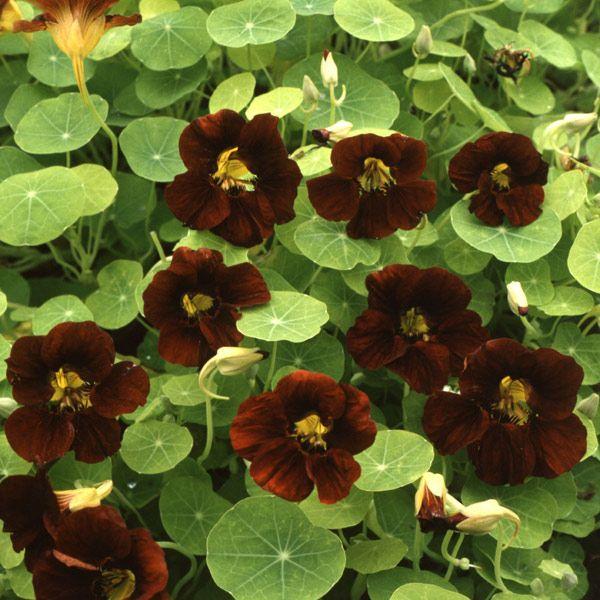 Buy nasturtium Tropaeolum 'Black Velvet (Tom Thumb Series)': Delivery by Crocus.co.uk