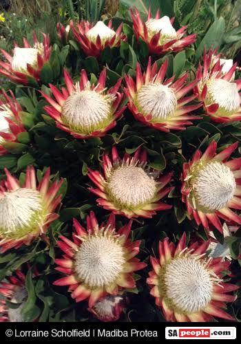 Madiba Protea
